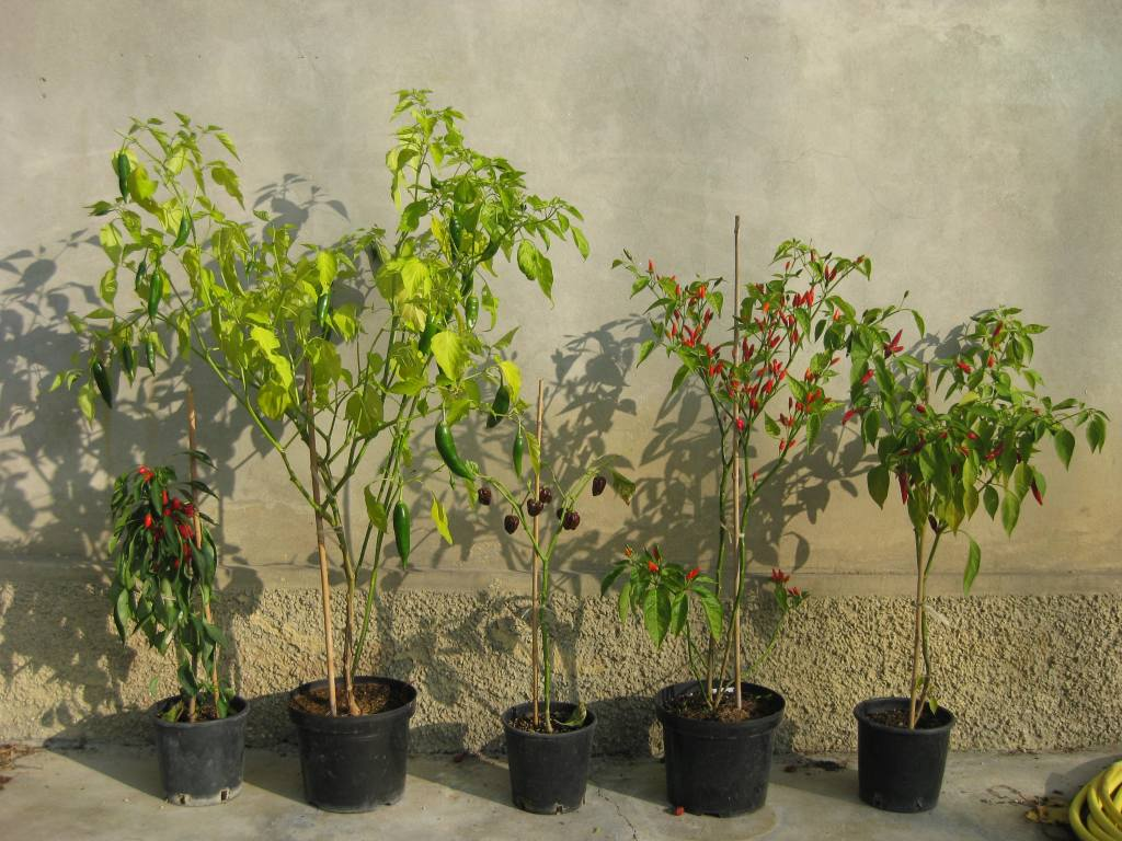 Haraji appartiene ad una diversa concezione di concime for Acquisto piante peperoncino